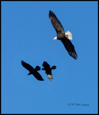 Bald Eagle Chase
