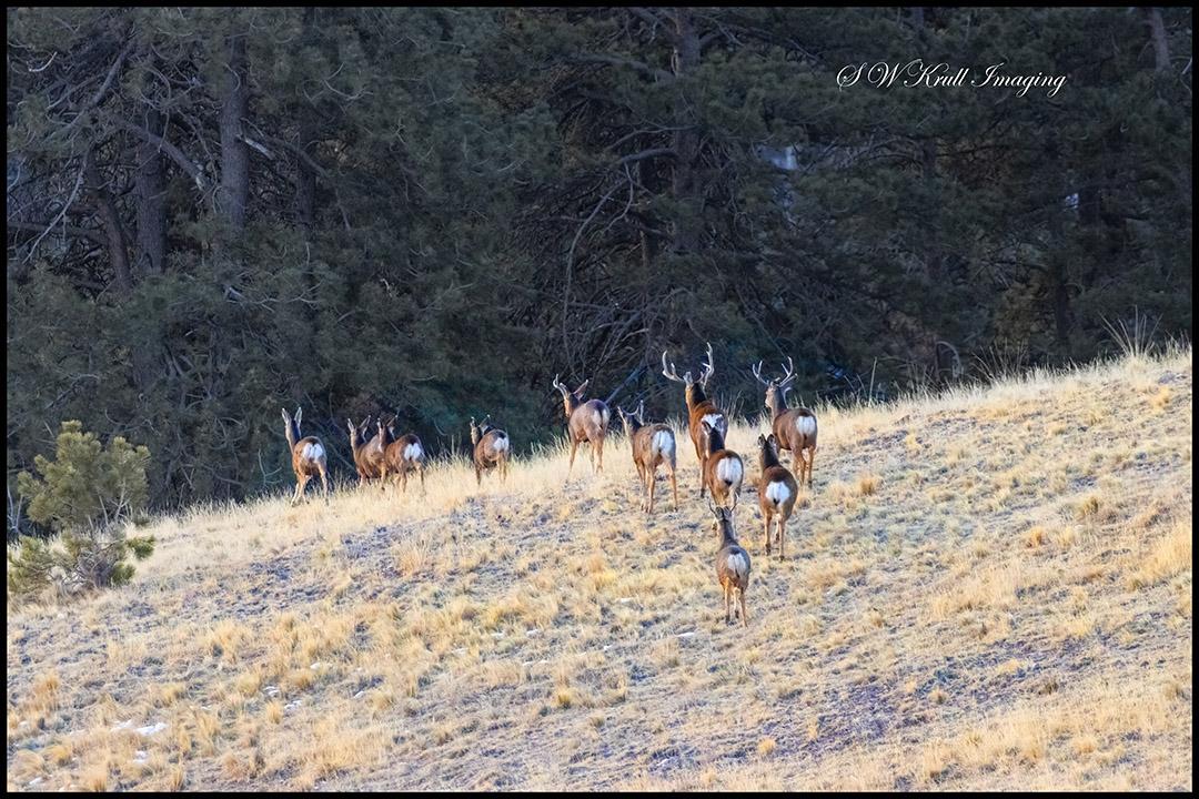 Rocky Mountain Deer Herd