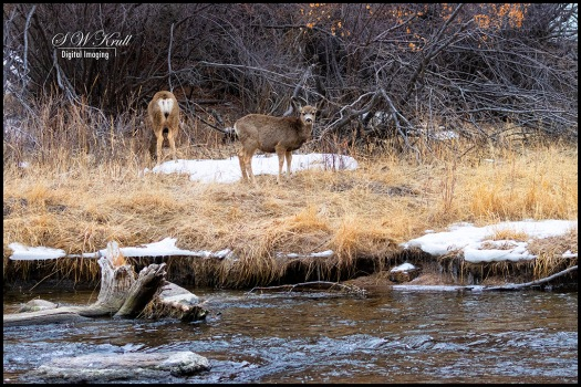 Deer on the Banks