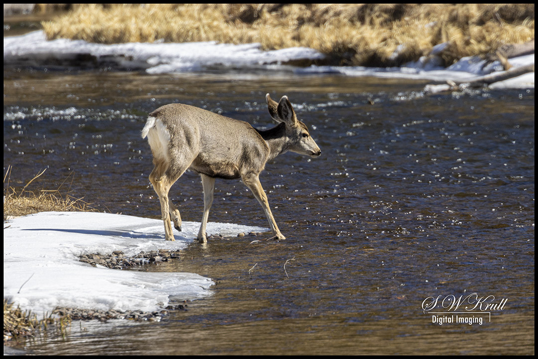 Mule Deer Doe in River