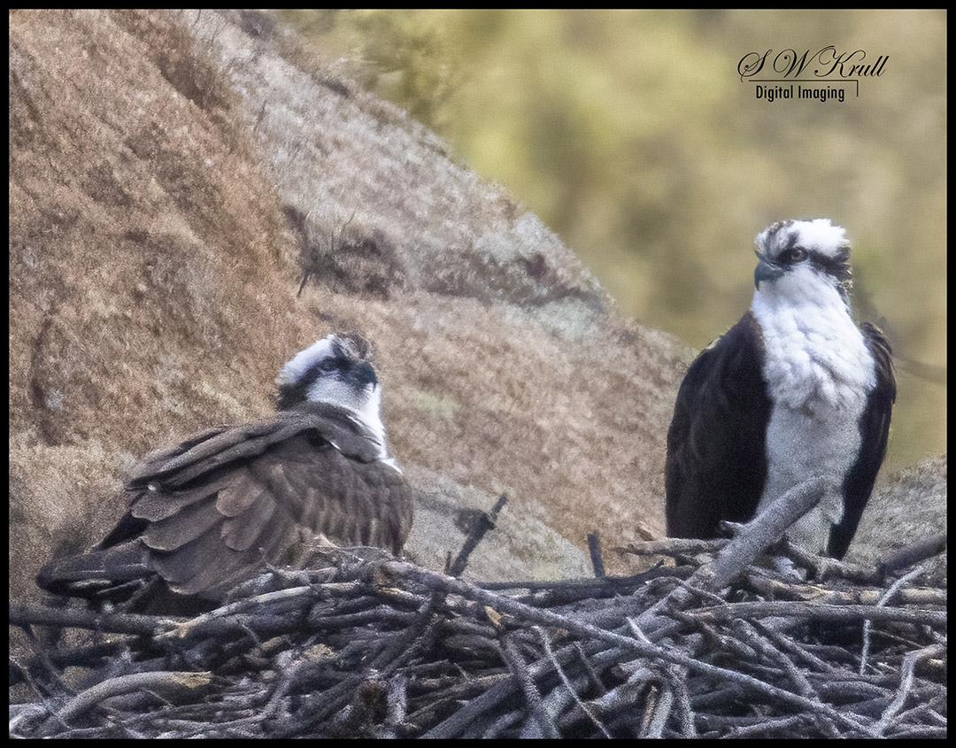 Osprey Nesting Pair
