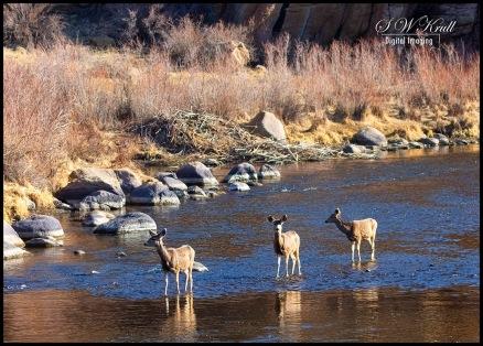 Mule Deer in the South Platte