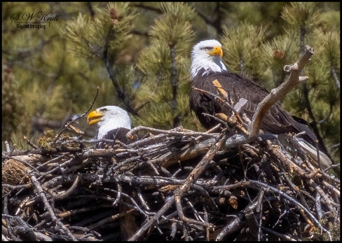 Bald Eagles at the Nest