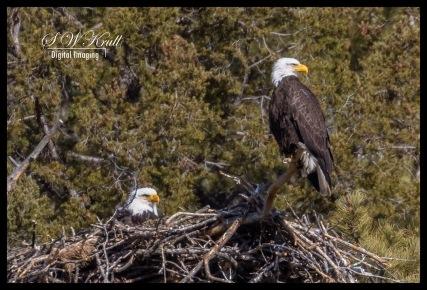 Bald Eagles with Eaglets
