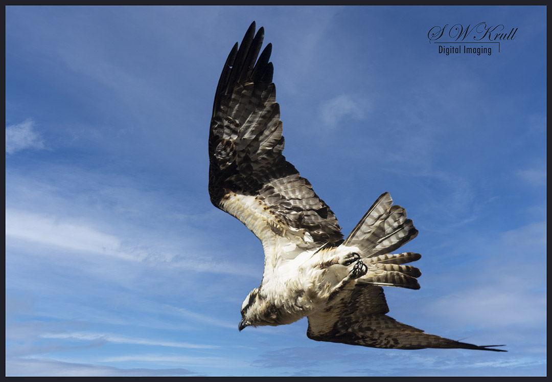 Osprey in the Canyon