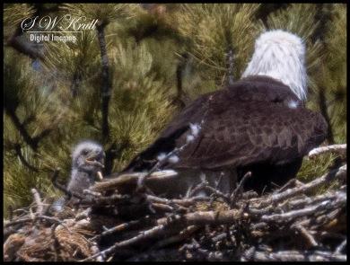 Bald Eaglet and Mother Eagle
