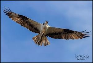 Osprey at Manitou Lake