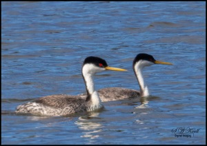 Western Grebe Swimming