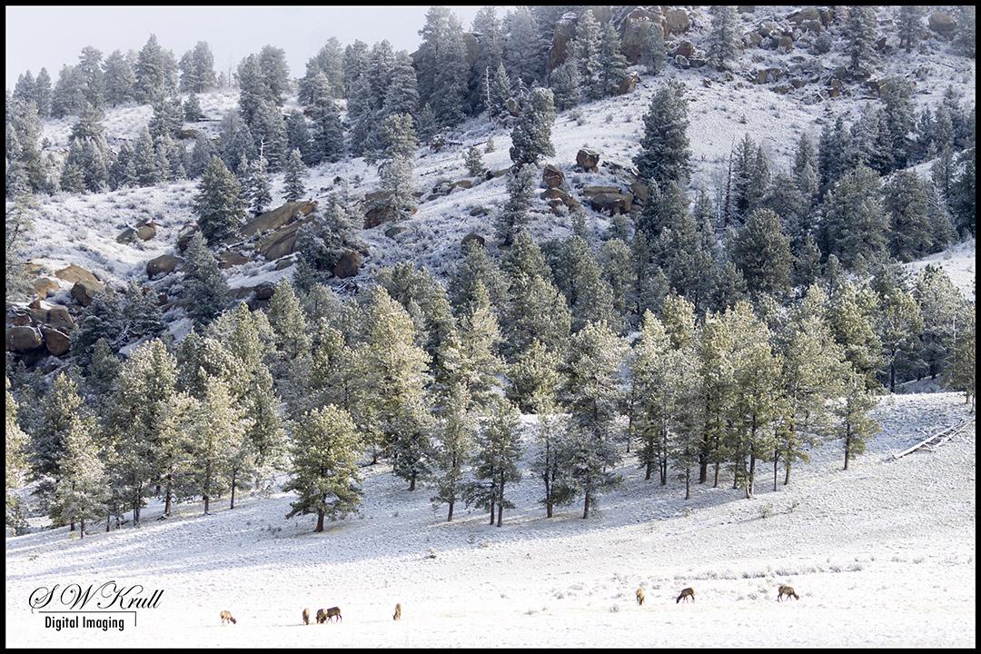 Deer Herd in Snow