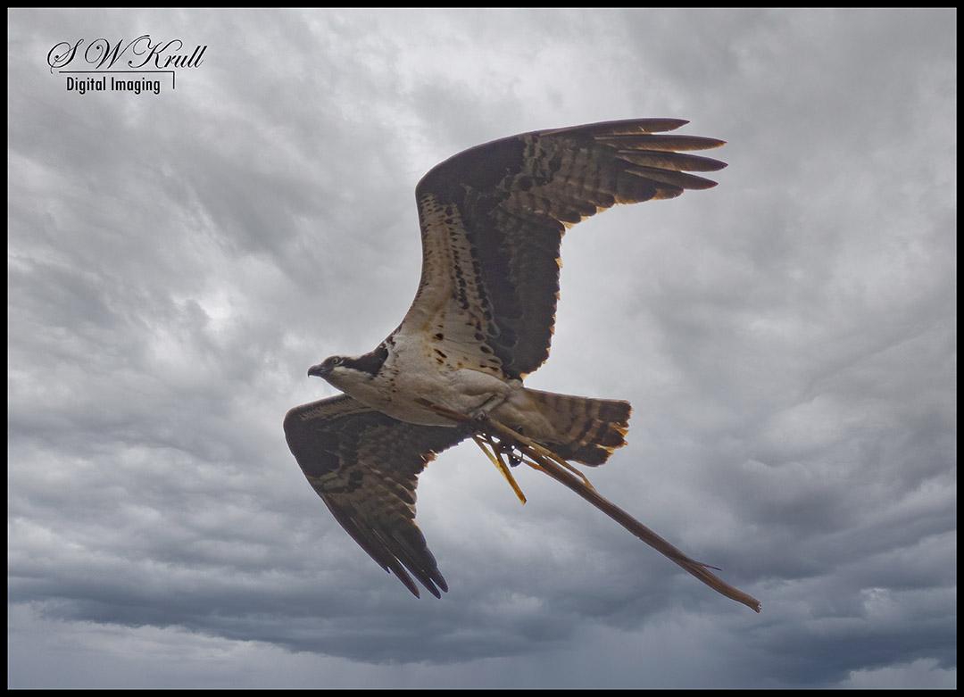 Osprey Retrieving a Stick