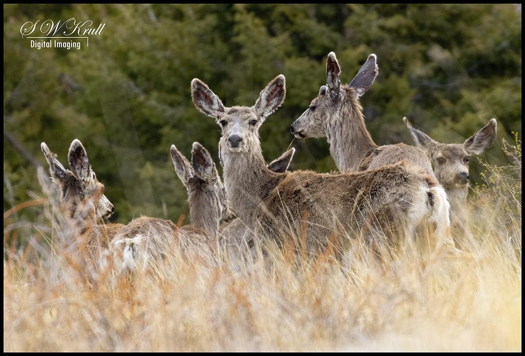 Mule Deer in the Woods
