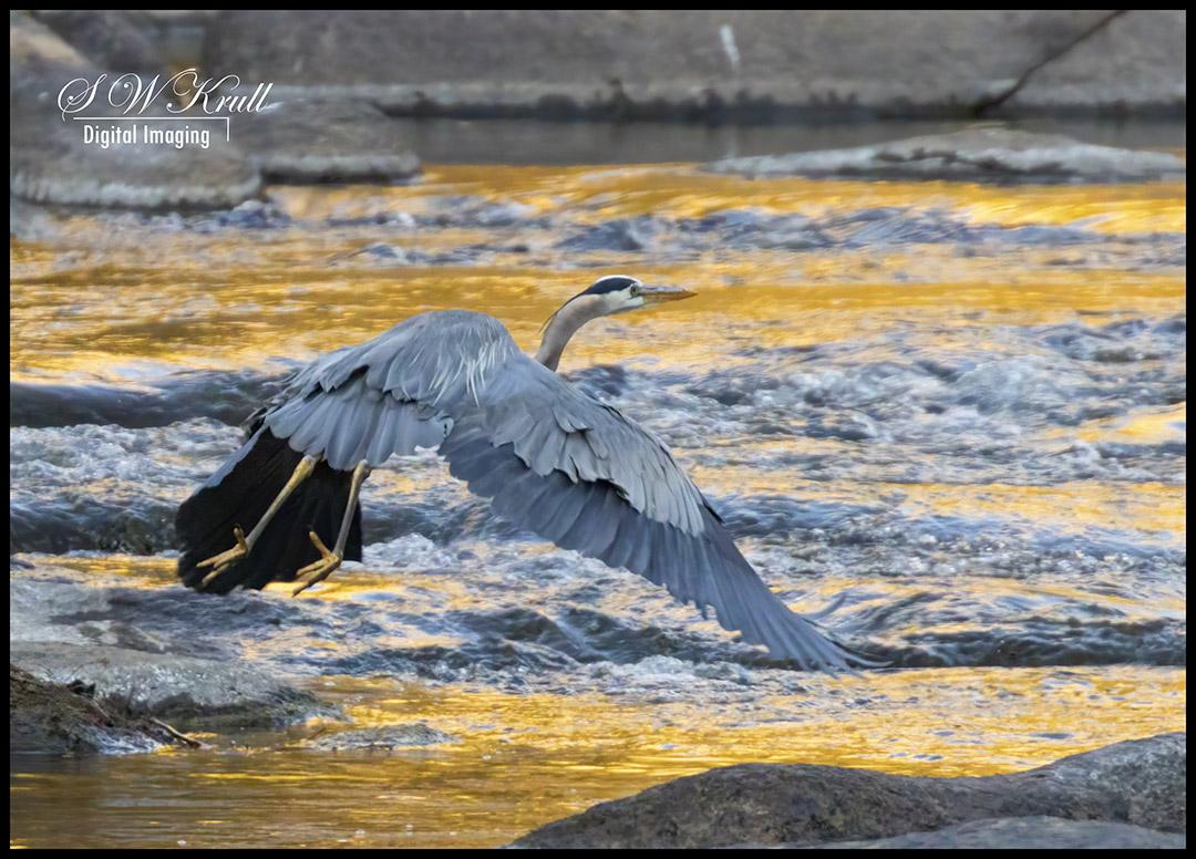 Great Blue Heron at River