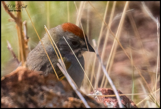 Cute little Green-tailed Towhee in the grass