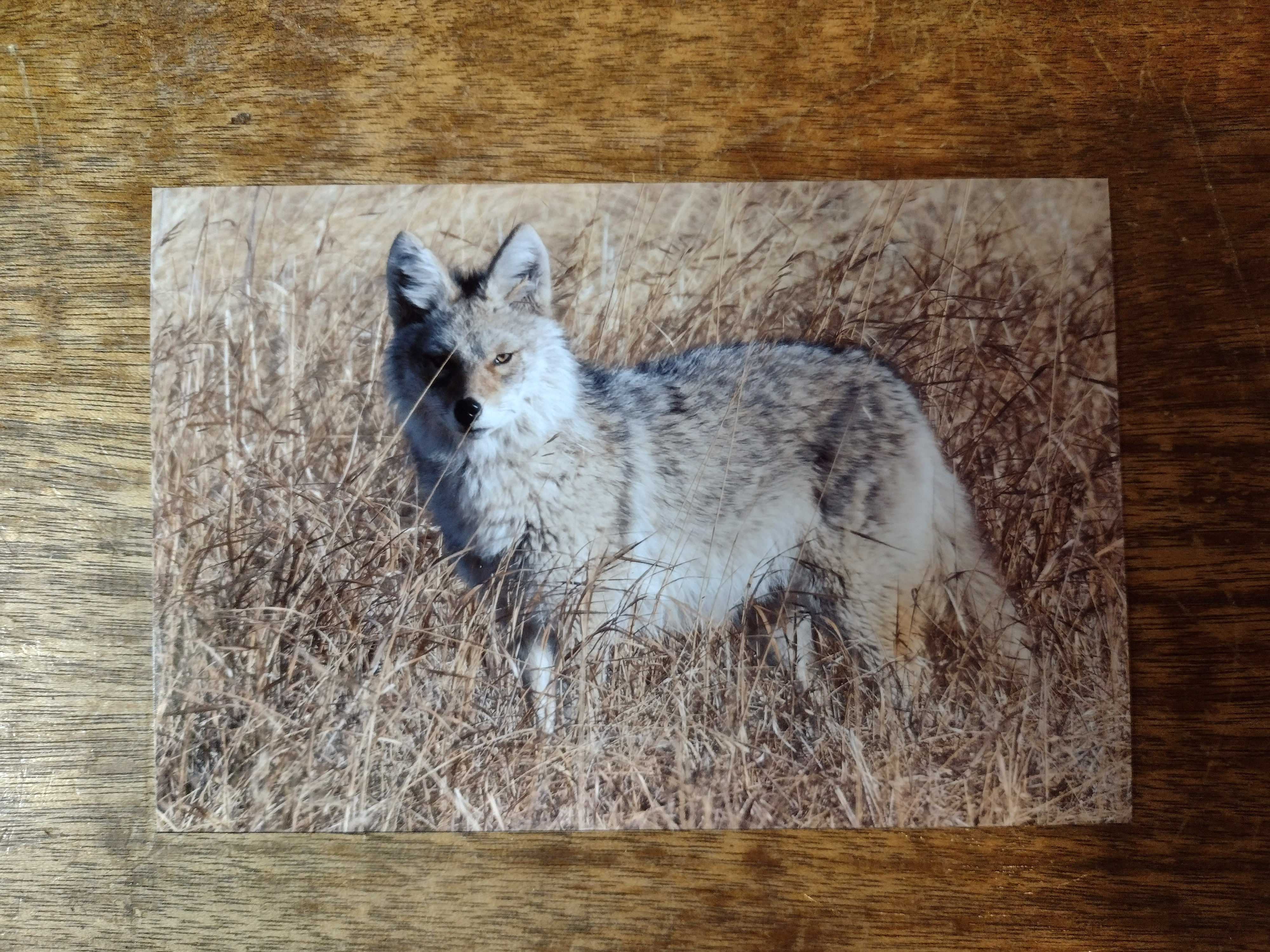 4x6 inch proof print of a coyote