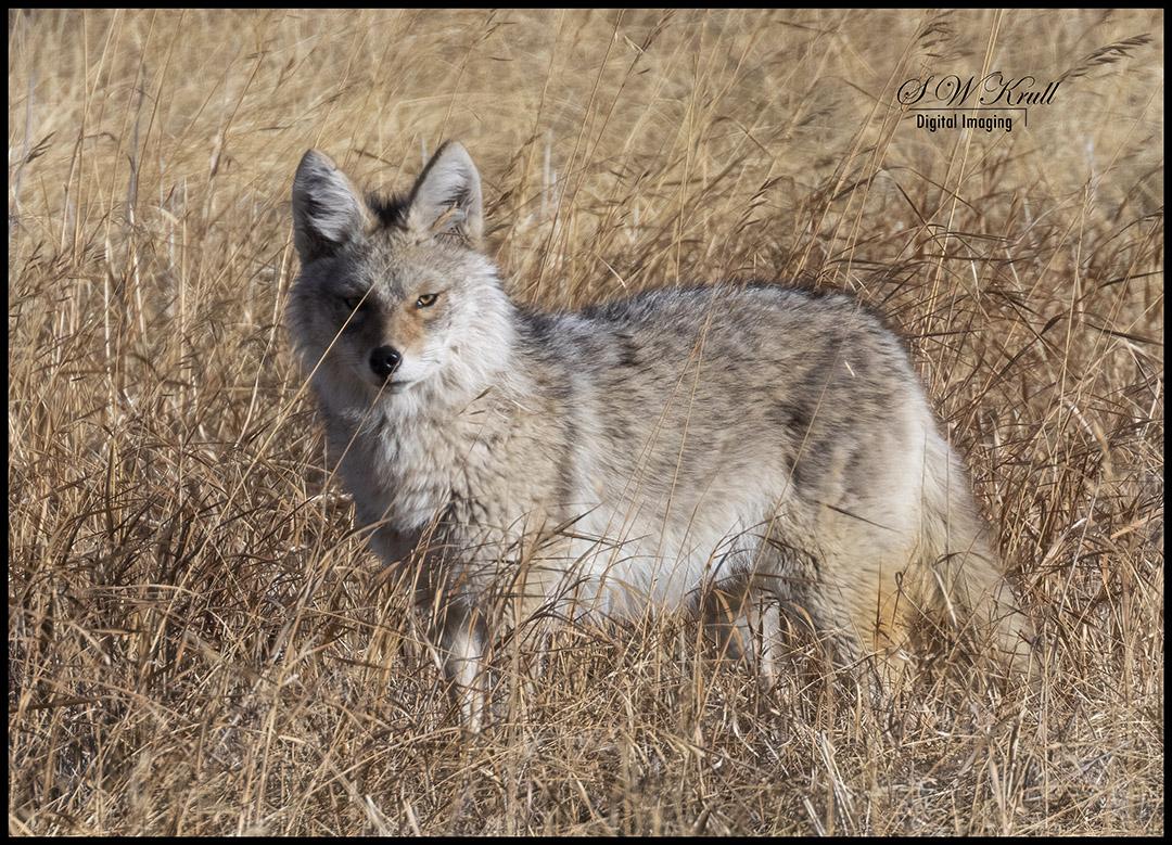 Coyote Cold Stare