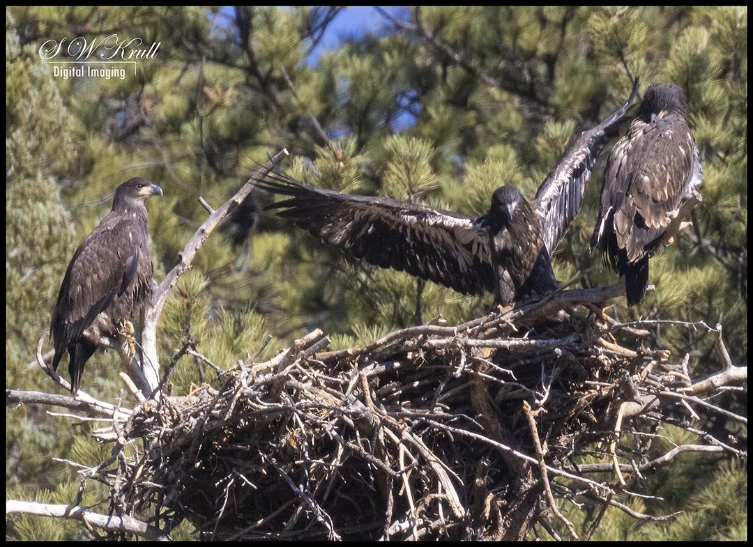 Triple Eaglets