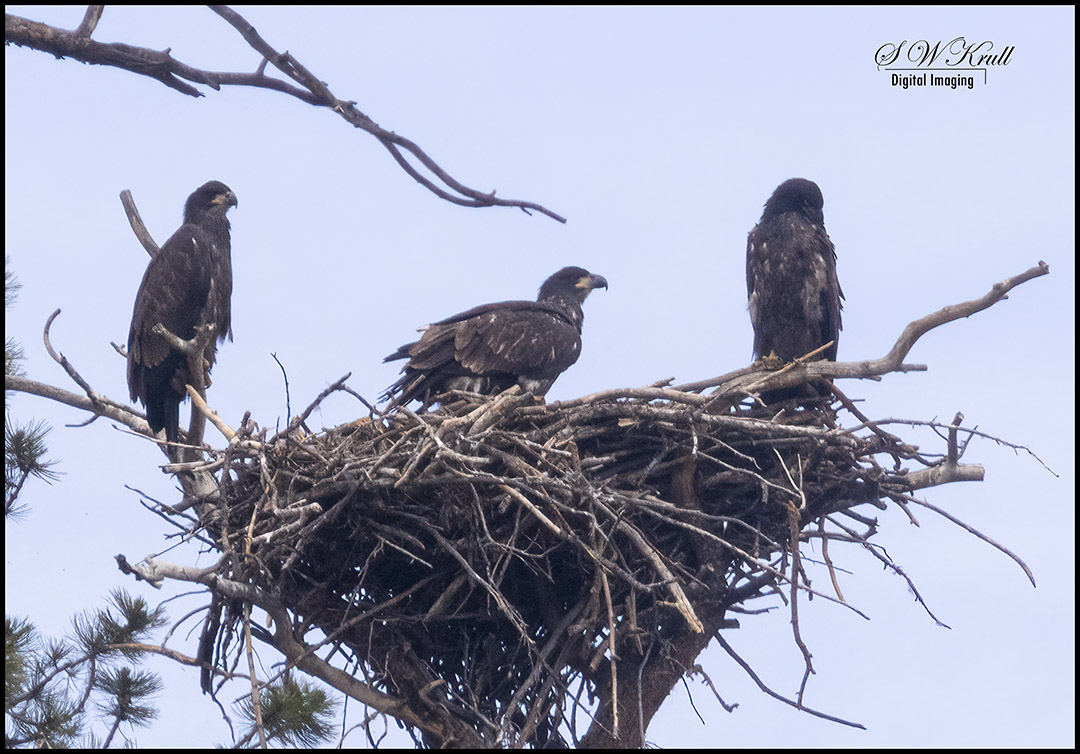 Eaglets at Eleven Mile Canyon