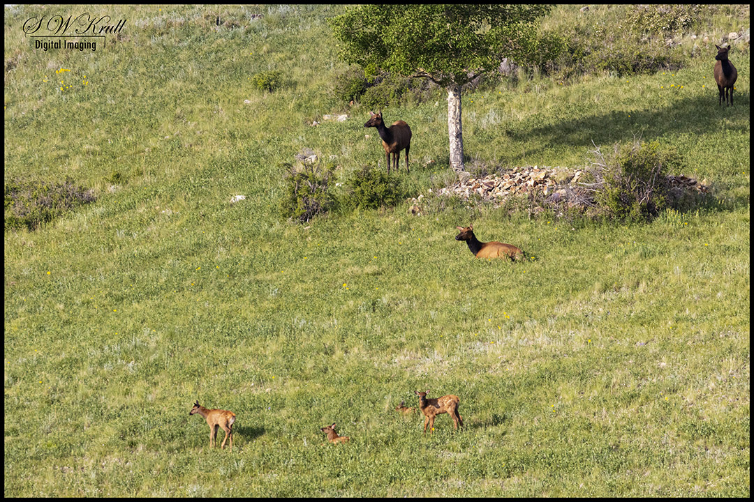 Herd of elk in the Pike National Forest of Colorado