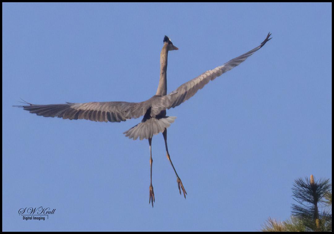 Great Blue Heron at Manitou Lake