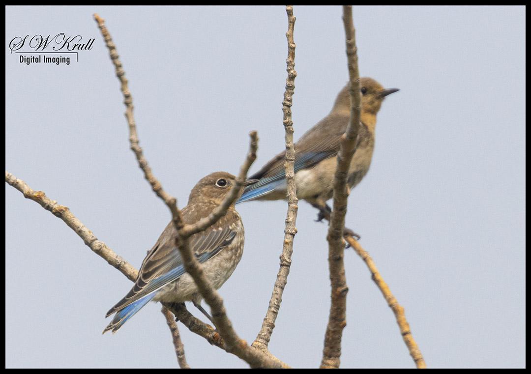 Mountain Blue Birds