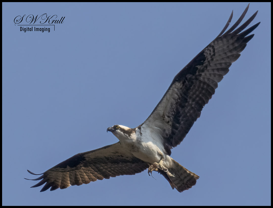 Osprey at Eleven Mile Canyon