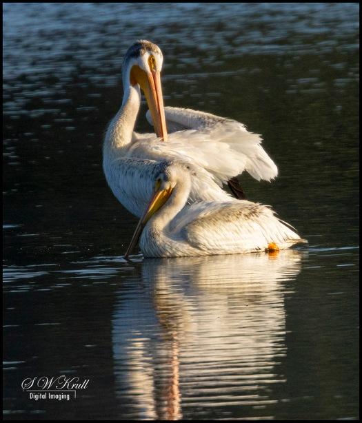 Pelicans Swimming
