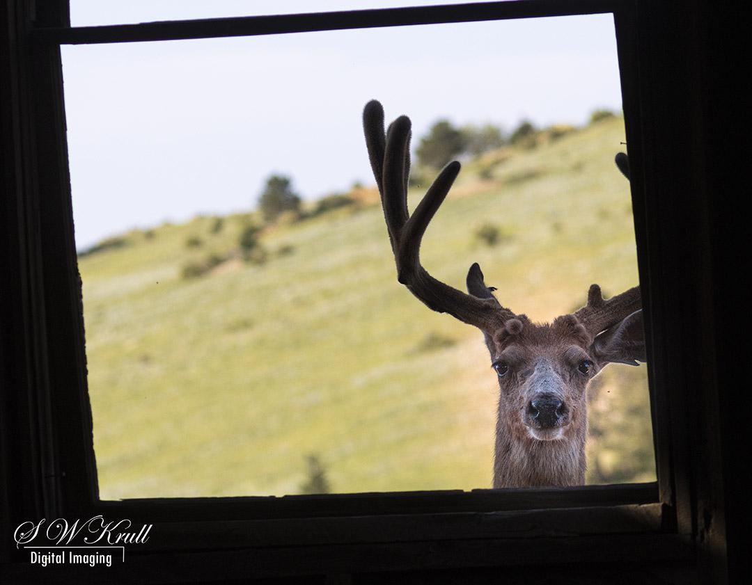Buck in the Window