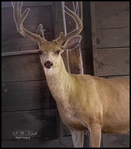 Buck in the Shelter