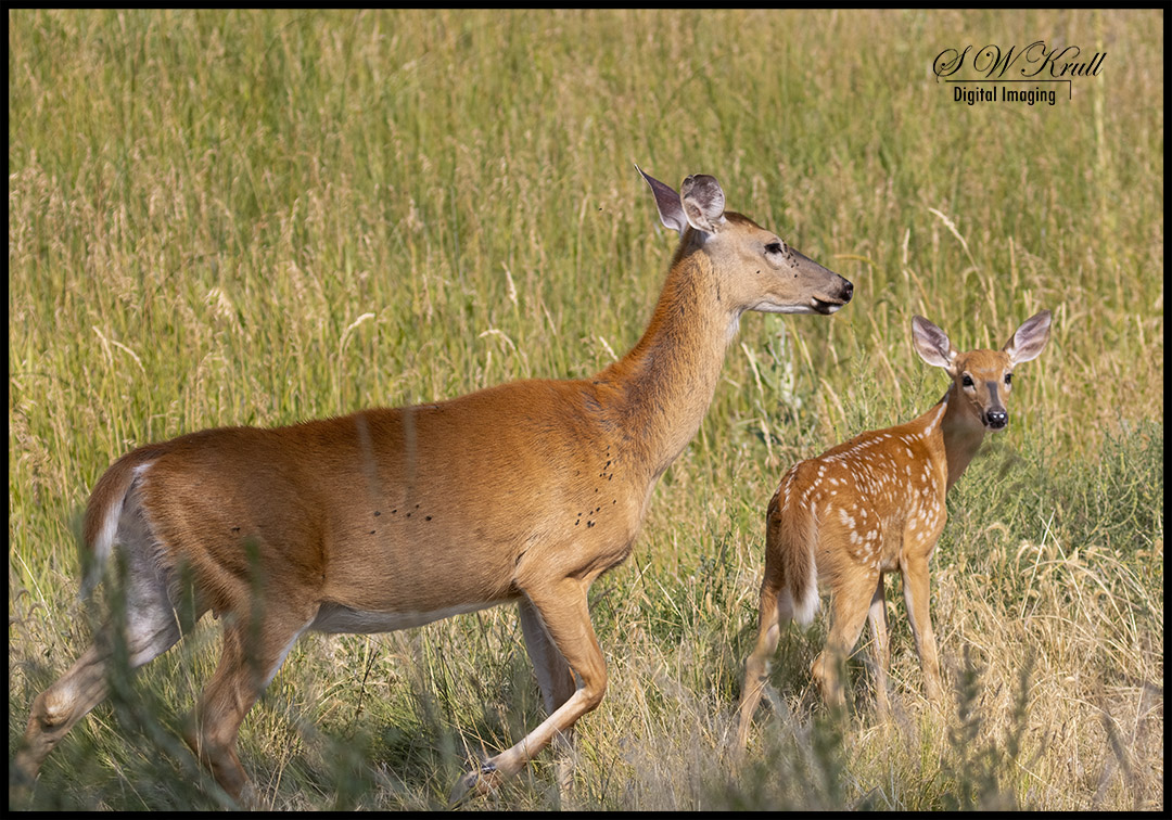 Bucks Does and Fawns