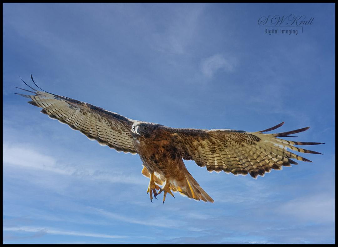 Red-Tail Hawks in Flight