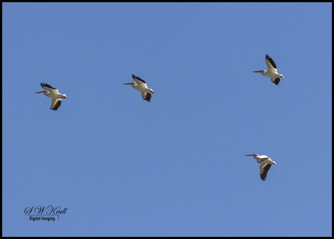 Pelicans over Eleven Mile Reservoir