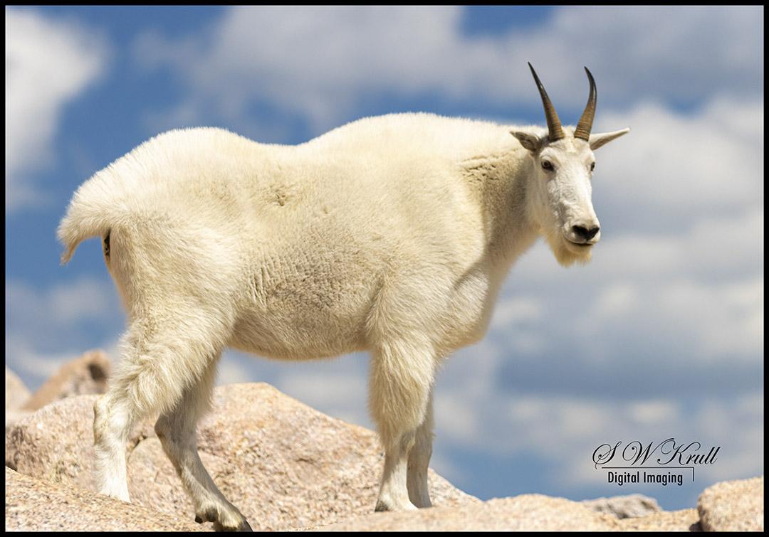 Mountain Goats on Mount Evans