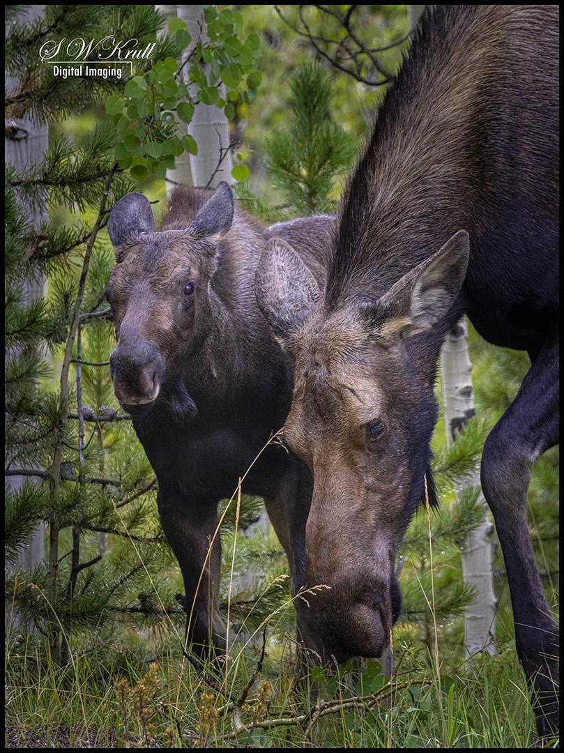 Moose at Jefferson Lake Colorado