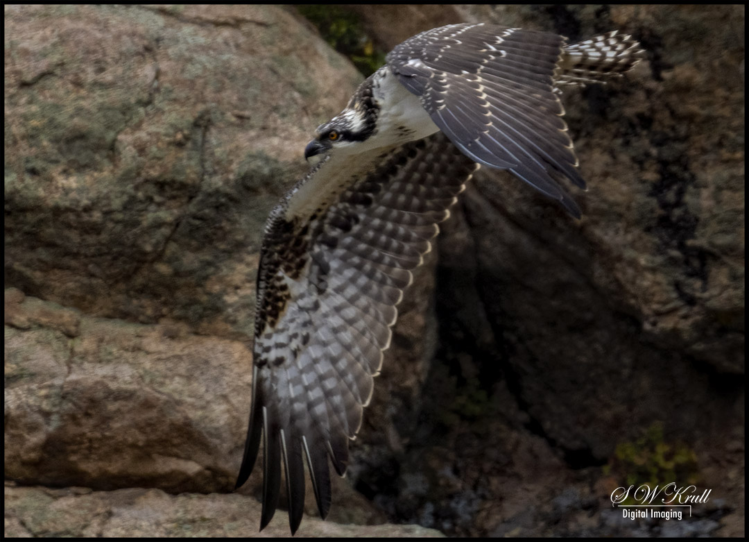 Osprey in Eleven Mile Canyon