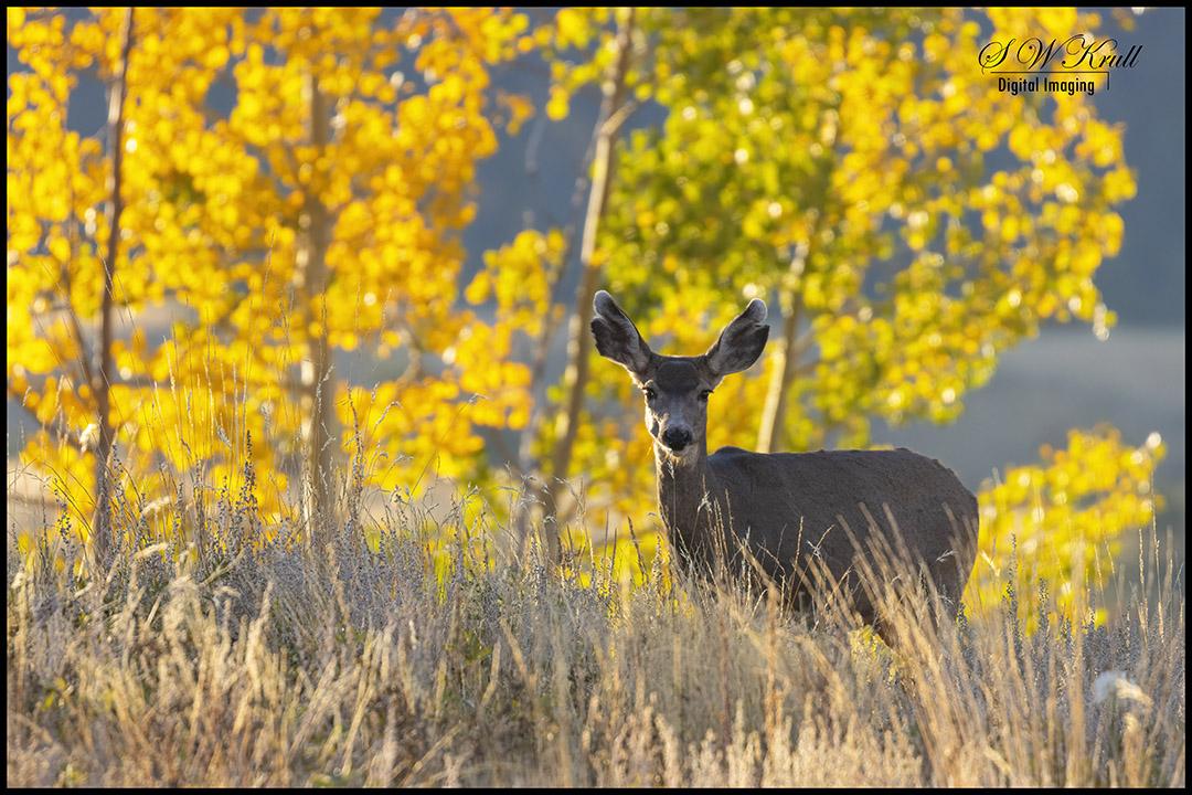 Mule Deer in the Rocky Mountian Autumn