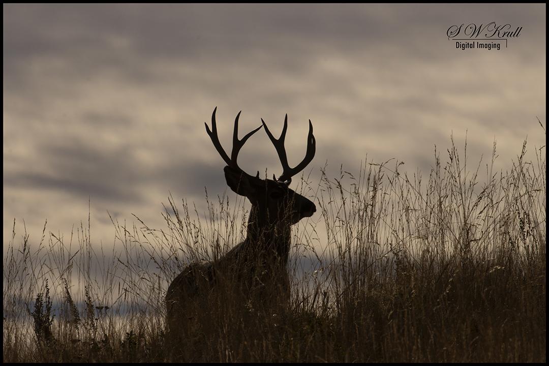 Mule Deer Bucks in the Rockies