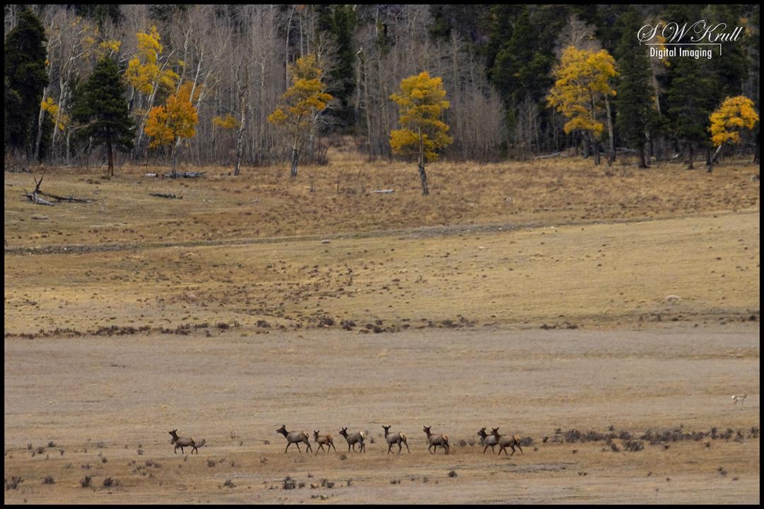 Herd of Elk Cows