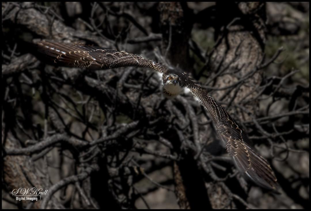 Raptors at Eleven Mile Canyon