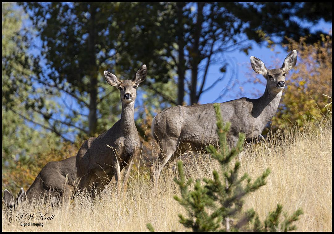Mule Deer in the Rockies